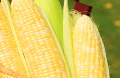corn-no-pesticide